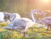 Gray swan in the grass, Europe wildlife