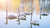 Gray swans swimming in the pond, autumn time
