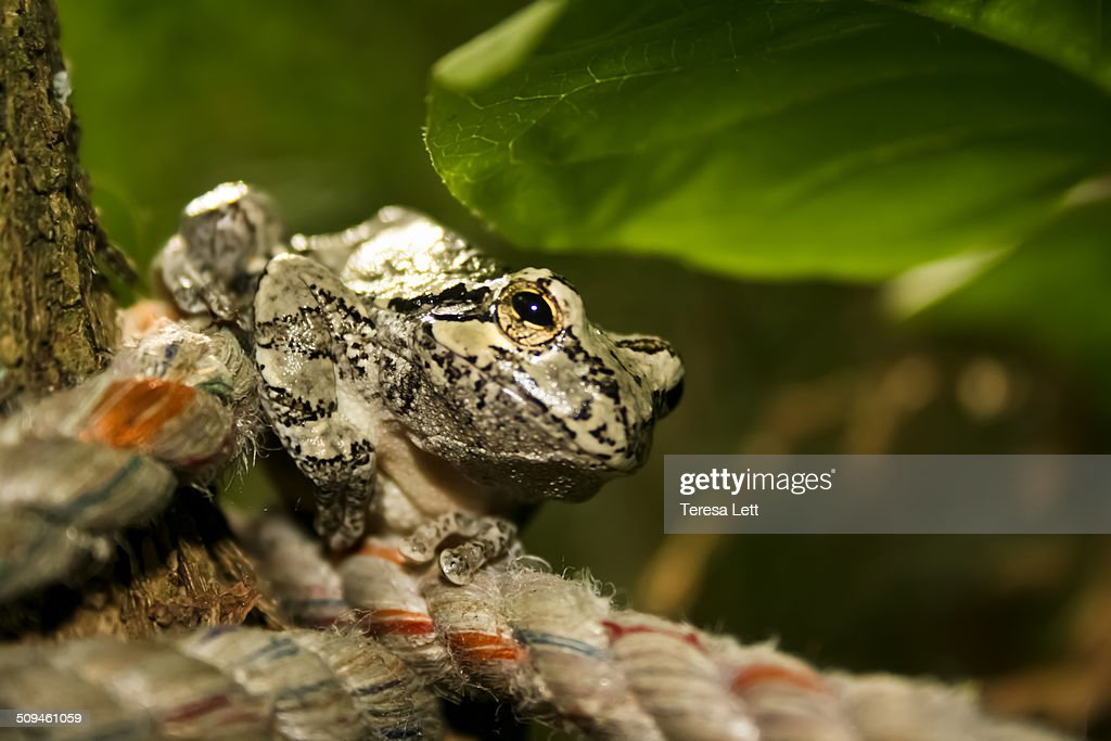 Gray tree frog on a rope
