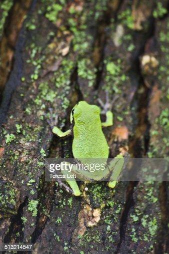 Gray tree frog on a tree