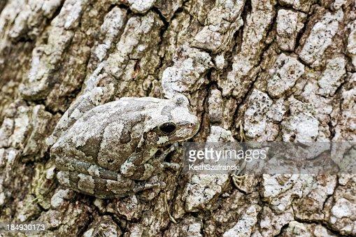 Gray Tree Frog on Bark