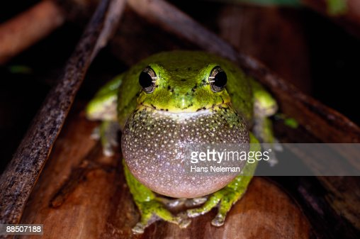 Gray tree frog, with inflated vocal sack