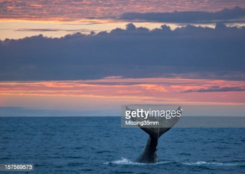 Gray Whale Tail at Sunset