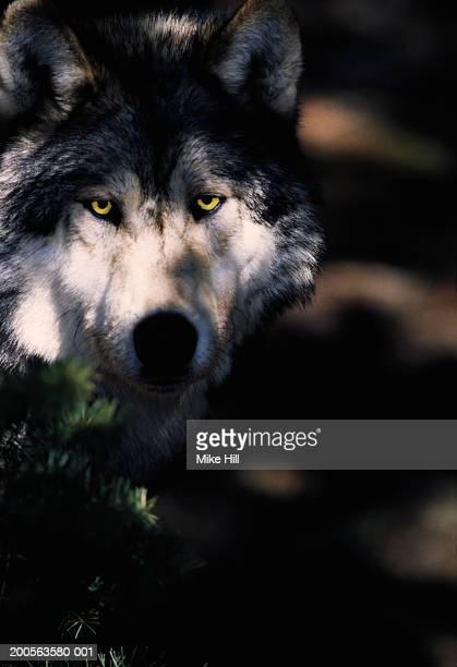 Gray Wolf at night, looking at camera