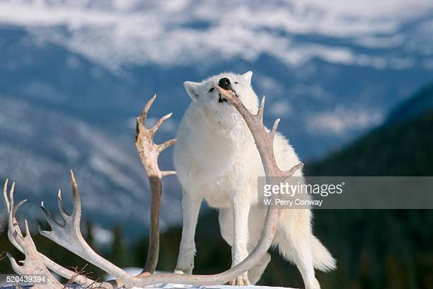 Gray Wolf Chewing on Caribou Antlers
