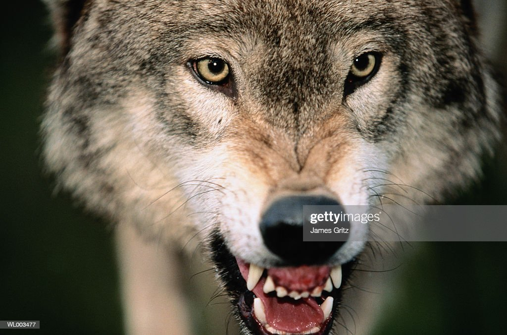 Gray Wolf Growling Stock Photo | Getty Images