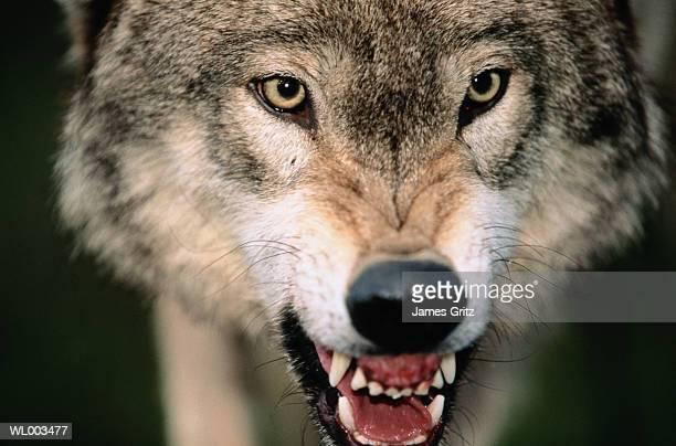 Gray Wolf Growling