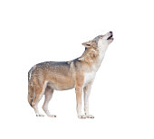 gray wolf howling isolated on white background