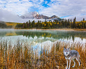 The concept of ecological tourism. Gray Canadian wolf in the Rockies of Canada. Morning mist spreads over the forest