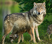 Gray wolf in trees with funny pup underneath.