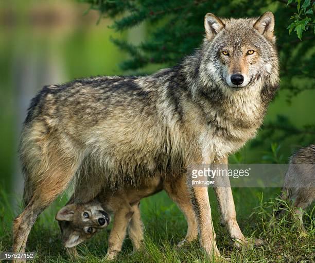 Loup gris dans les arbres avec drôle petit chien en dessous.