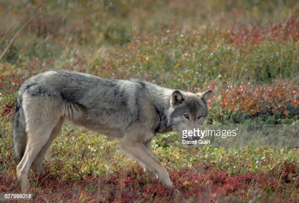 Gray Wolf in Tundra