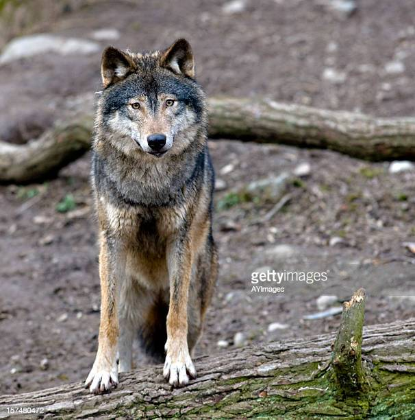 Gray Wolf-Canis Lupus