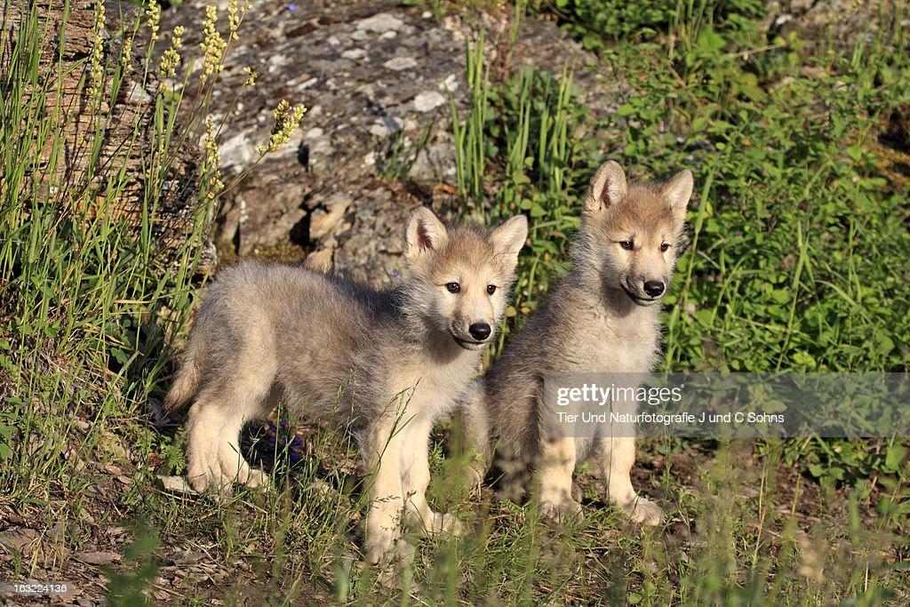 Gray wolf : Stock Photo