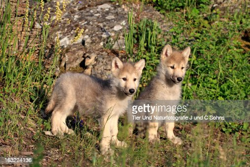 Gray wolf : Stock Photo