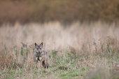 Gray wolf, Bieszczady Mountains 2017