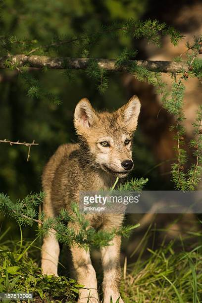 Gray wolf pup looking curiously from trees.