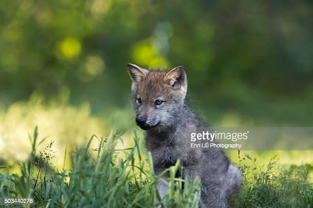 Gray Wolf pup portrait