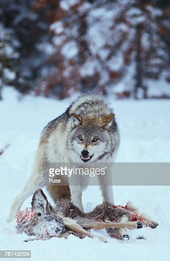Gray Wolf Snarling over Deer Carcass