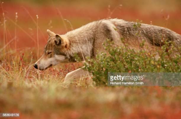 Gray Wolf Stalking Prey in Meadow
