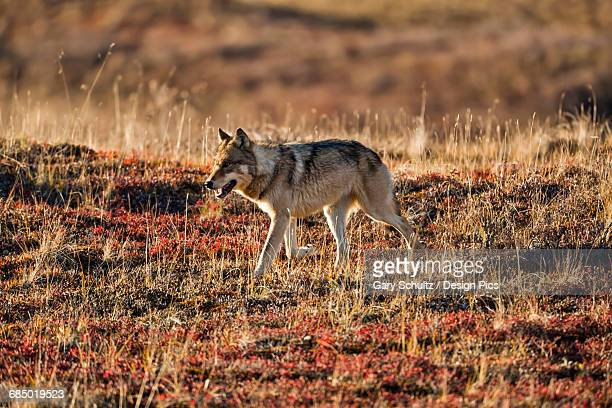 Gray wolf (Canis lupus) walking on autumn colored tundra, Denali National Park and Preserve, Interior Alaska, USA