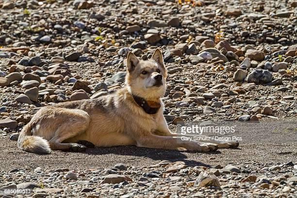 Gray wolf (Canis lupus) with radio collar resting on gravel bar, Toklat River, Denali National Park and Preserve, Interior Alaska, USA.