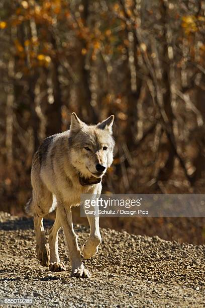 Gray wolf (Canis lupus) with radio collar walking down gravel road in fall, Denali National Park and Preserve, Interior Alaska, USA.