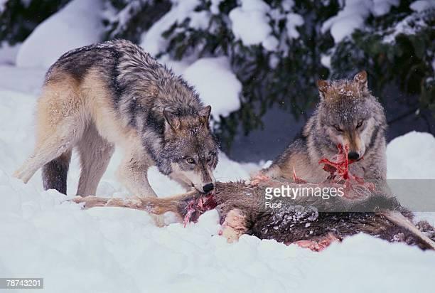 Gray Wolves Feeding on Deer Carcass