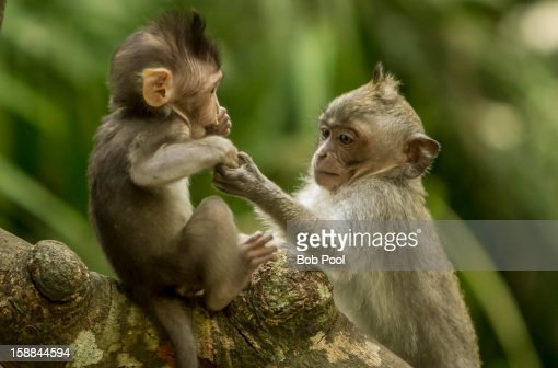Gray-haired monkey mother and baby : Stock Photo
