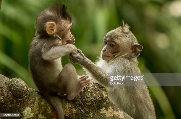 Gray-haired monkey mother and baby