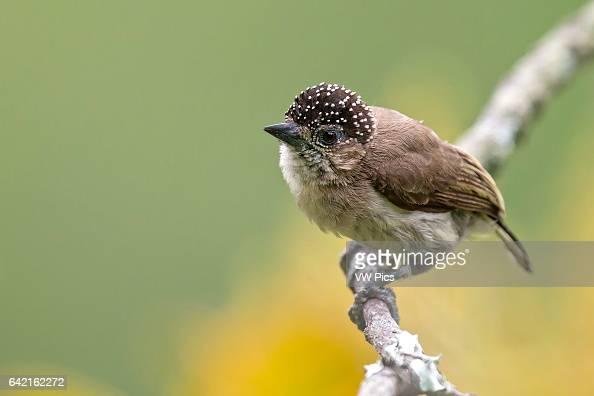 Grayish Piculet female Cali Valle del Cauca