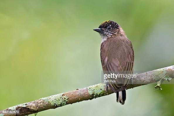 Grayish Piculet male Cali Valle del Cauca