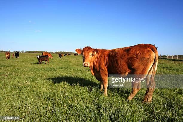 Bovins paissant dans la Prairie