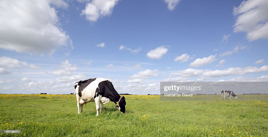 Grazing cows in a pasture : Stock Photo
