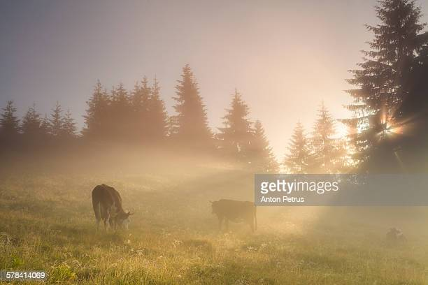 Grazing cows in the morning mist meadow.