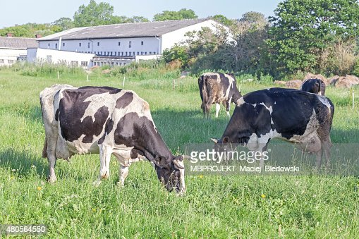 Grazing cows on a green summer field. : Stock Photo