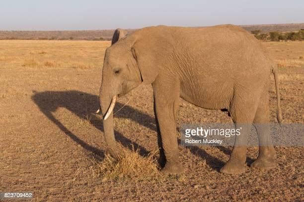Grazing Elephant at dusk