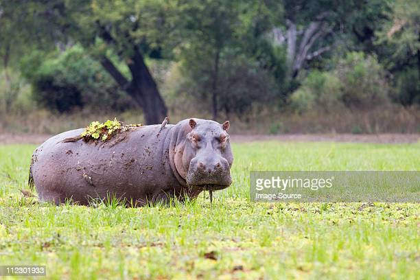 Grazing Hippopotamus