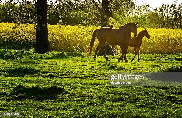 grazing mare and his foal in the evening time
