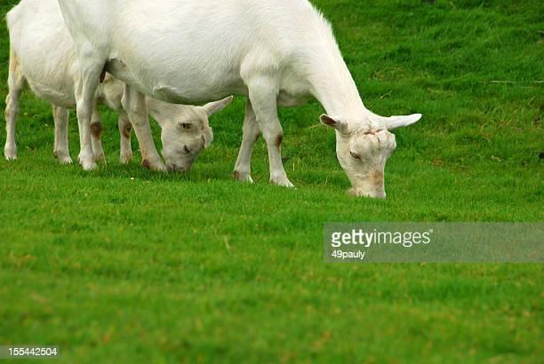 Brouter Saanen chèvres