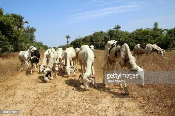 Grazing sheep in the Sahel, Africa