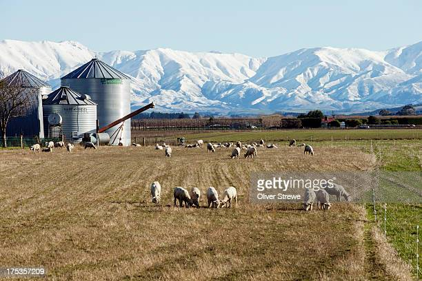 Grazing sheep on the Canterbury Plains
