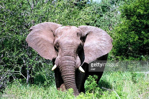 Great African elephant with tusks