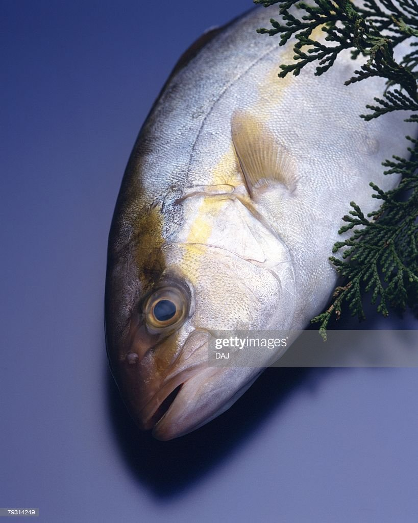 Great amberjack, high angle view, blue background