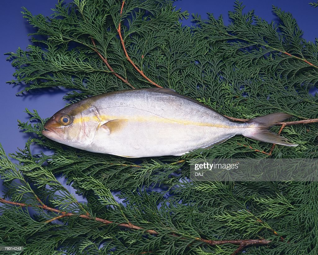 Great amberjack on leaves, high angle view, blue background