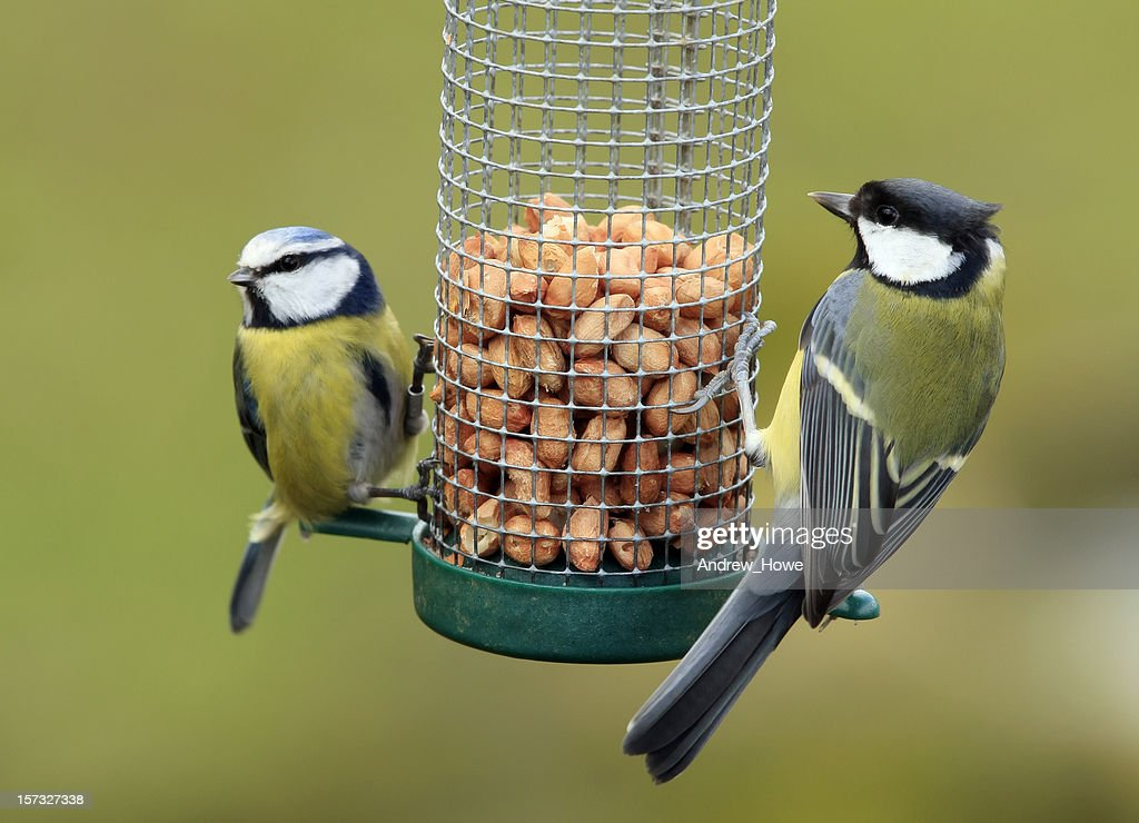 Great and Blue Tit Feeding
