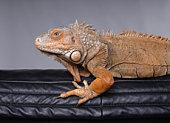 Great grand lézard ou Iguane pour être précis