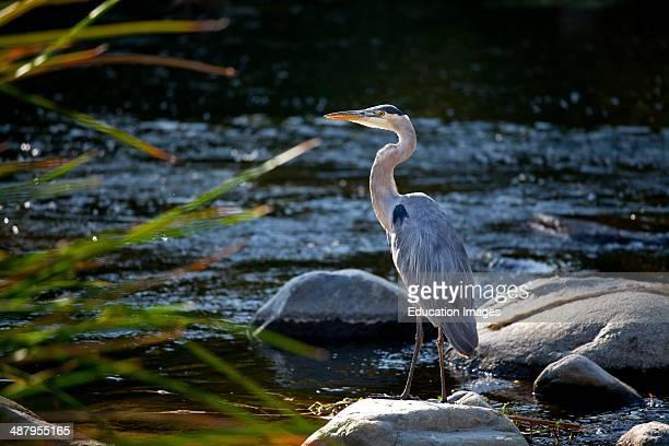 Great Blue Heron Ardea herodias Glendale Narrow Los Angeles River California