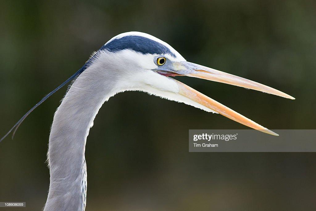 Great Blue Heron Ardea herodias in the Everglades Florida USA