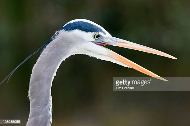 Great Blue Heron Ardea herodias in the Everglades Florida USA